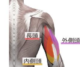 triceps-brachii